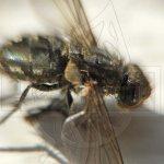 Как выглядит муха на фото