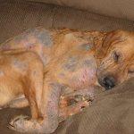 Поверхностная пиодермия у собак